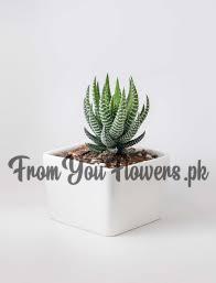 Send Cactus Plant (Haworthiopsis Fasciata) in Lahore
